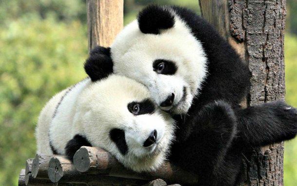любов між пандами